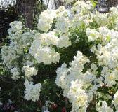 Mooie & Aantrekkelijke Witte Rose Flowers-bloesem in Rose Garden stock afbeeldingen
