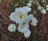 Mooie & Aantrekkelijke Witte Rose Flowers At Park Rose-Tuin royalty-vrije stock fotografie