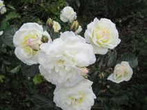 Mooie & Aantrekkelijke Witte Rose Flowers At Park Rose-Tuin stock fotografie