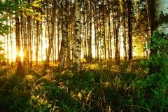 Mooie aard bij avond in het de zomerbos op de zonsondergang Stock Fotografie