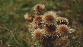 Mooie aard Bruine bloemen in de bergen, close-up Bergen van Roemenië stock video