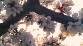 Mooie aard in de lente - bijenhoningbij die honing en stuifmeel verzamelen stock footage