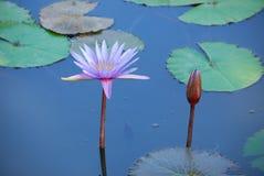 Mooie aard van lotusbloem Stock Foto