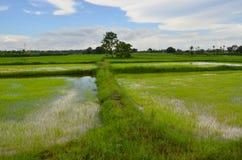 Mooie aarden dijken in groen padieveld stock foto