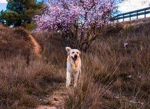 Mooie aardscène met de bloeiende boom en hond van Labrador stock foto