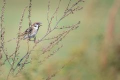 Mooie aardscène met de Muspasser van de vogel Europees-Aziatische Boom montanus royalty-vrije stock foto's