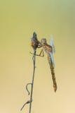 Mooie aardscène met de schuimspaan Orthetrum van libelkeeled coerulescens royalty-vrije stock foto's