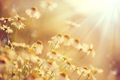 Mooie aardscène met het bloeien kamilles royalty-vrije stock afbeeldingen