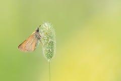 Mooie aardscène met lineola van de kapiteinsthymelicus van vlinderessex royalty-vrije stock afbeeldingen
