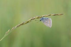 Mooie aardscène met vlinder Gemeenschappelijke blauwe Polyommatus Icarus royalty-vrije stock fotografie