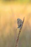 Mooie aardscène met vlinder Gemeenschappelijke blauwe Polyommatus Icarus royalty-vrije stock foto