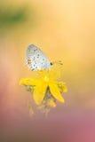 Mooie aardscène met vlinder van kort-De steel verwijderde Blauwe Cupido argiades stock foto's