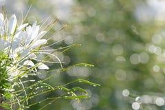 mooie abstracte groene bokehachtergrond en witte bloem vooraan royalty-vrije stock foto's
