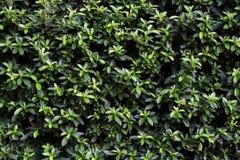 Mooie achtergrond groene verlofmuur in de zomer Royalty-vrije Stock Afbeeldingen