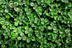 Mooie achtergrond met groene klaverbladeren voor de dag van Heilige Patrick ` s stock afbeeldingen