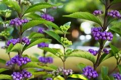Mooie achtergrond van de violette en groene boom van het zaad Japanse kruid Stock Foto's