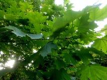 Mooie achtergrond van esdoorn de groene bladeren royalty-vrije stock foto