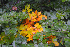 Mooie achtergrond van groene en gele bladeren Royalty-vrije Stock Afbeelding