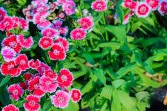 Mooie Achtergrond van het bloeien Snowfire, Doll van China, de Speld van China Stock Fotografie