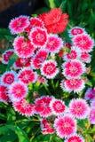 Mooie Achtergrond van het bloeien Snowfire, Doll van China, de Speld van China Royalty-vrije Stock Afbeeldingen