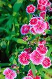 Mooie Achtergrond van het bloeien Snowfire, Doll van China, de Speld van China Stock Foto