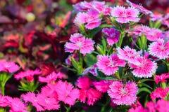Mooie Achtergrond van het bloeien Snowfire, Doll van China, de Speld van China Stock Afbeeldingen
