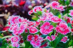 Mooie Achtergrond van het bloeien Snowfire, Doll van China, de Speld van China Stock Afbeelding