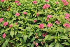 Mooie achtergrond van kleurrijke roze die bloemen in weelderig groen gebladerte van tuin worden geplooid royalty-vrije stock foto