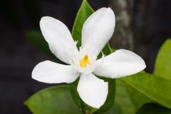 Mooie achtergrond van witte bloemen met Stock Afbeelding