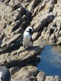 Mooie Afrikaanse pinguïn royalty-vrije stock afbeeldingen