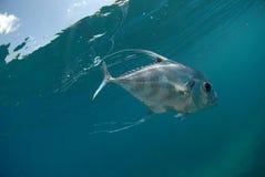 Mooie Afrikaanse Pompano vissen die in oceaan zwemmen Stock Afbeelding