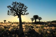 Mooie Afrikaanse zonsondergang met gesilhouetteerde Quiver bomen en verlicht gras Royalty-vrije Stock Foto