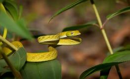 Mooie Ahaetulla-slang in Borneo Indonesië Royalty-vrije Stock Fotografie