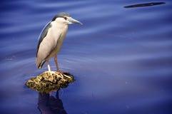 Mooie aigrette die zich op het meer bevindt Royalty-vrije Stock Foto's