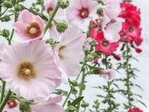 Mooie Alcea-rosea, Roze Malva of Stokroos met heldere roze kleur in de tuin royalty-vrije stock foto's