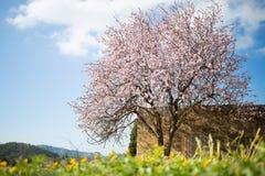 Mooie amandelboom in Spaans landschap in Majorca, Royalty-vrije Stock Foto's