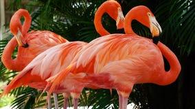 Mooie Amerikaanse Flamingo die zich op één voet, groene aardachtergrond bevinden - flamingo in dierentuin stock afbeeldingen
