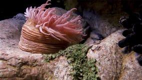 Mooie anemoon en vissen op een koraalrif stock videobeelden