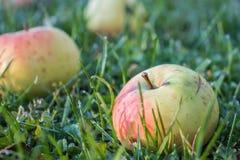 Mooie appelen in dalingen van dauw op groen gras royalty-vrije stock fotografie