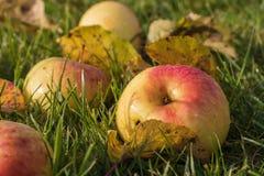 Mooie appelen in dalingen van dauw op groen gras royalty-vrije stock afbeeldingen
