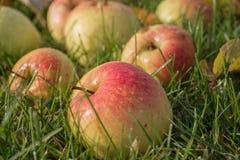 Mooie appelen in dalingen van dauw op groen gras stock afbeeldingen