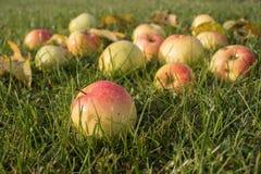 Mooie appelen in dalingen van dauw op groen gras stock foto