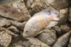 Mooie aquariumvissen die in water tegen de achtergrond drijven Royalty-vrije Stock Foto's