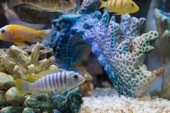 Mooie aquariumvissen die in water tegen de achtergrond drijven Royalty-vrije Stock Foto