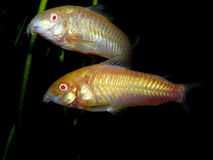 Mooie aquariumvissen/installatie/amfibiecorydoras-paleatus Stock Fotografie