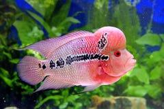 Mooie aquariumvissen in roze Stock Afbeeldingen