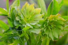Mooie argutifolius van Helleborus van de open plek Royalty-vrije Stock Fotografie