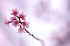 Mooie Backgroud, Cherry Blossom Stock Afbeeldingen