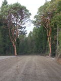Mooie BC bomen Stock Afbeelding
