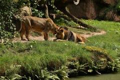 Mooie bedreigde leeuw in gevangenschap stock foto